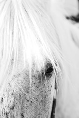 Close up of part of the face of a grey mare, focused on the eye. White horse's eye close up