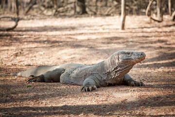 Komodo Dragon oder Komodo waran die größten Echsen Welt