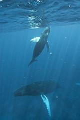 Humpback whale (Megaptera novaeangliae), Silver Bank, Dominican Republic, Atlantic Ocean