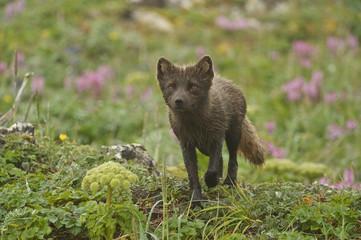Arctic Fox (Alopex lagopus or Vulpes lagopus) summer coat