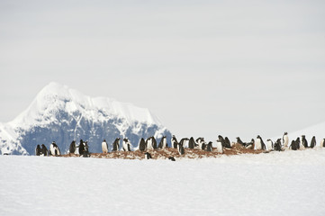 Antarctica  Antarctic peninsula  Port Lockroy  Gentoo penguin (Pygoscelis papua ellsworthii)