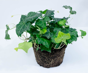 Unpotted ivy plant