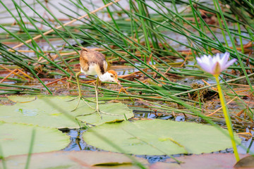 A 'Jesus Bird' is walking on lily pads and grass at Corroboree Billabong, Northern Territory, Australia