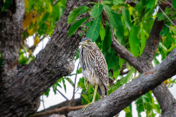 A funny looking bird on a tree branch at Corroboree Billabong, a pristine wetland in Northern Territory, Australia