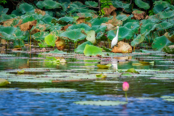 A Great Egret in between lotuses at Corroboree Billabong in Northern Territory, Australia