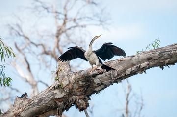 The Australian Darter spreads its wings at Corroboree Billabong, Northern Territory, Australia