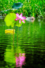 Large pink lotus flower reflected in the water at Corroboree Wetlands, Northern Territory, Australia