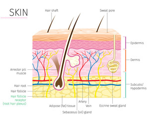 Human Anatomy, Skin And Hair Diagram, Integumentary System