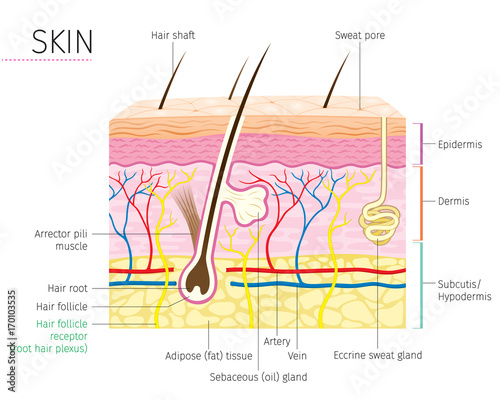 Human Anatomy Skin And Hair Diagram Integumentary System Stock