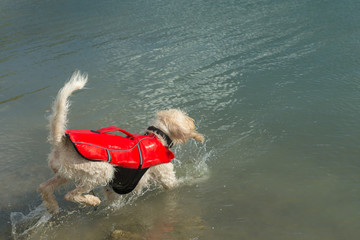 Brave lifeguard dog spinone italiano in a red lifejacket jumps in water
