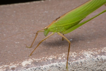 close up green grasshopper