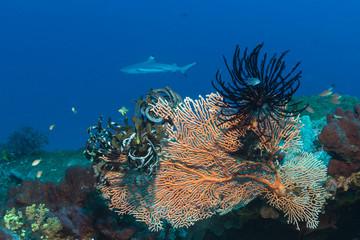 Gorgonie mit Haarsternen und Hai im Hintergrund