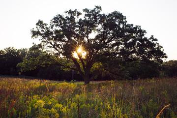 Sunset behind oaktree on the prairie in Minnesota