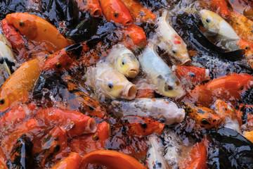 Feeding a shoal of hungry Koi Carps (Cyprinus carpio), colored red and white, on an Indonesian fish farm.