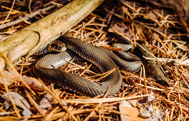 Black Forest Snake in a sunny forest glade