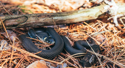 Animals in the wild. Forest snake in the autumn forest