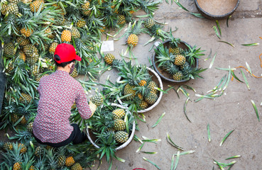 Vietnamese worker in Hanoi sorting big amount of pineapple fruit into smaller containers for street sellers