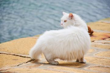 Weiße dicke Perserkatze