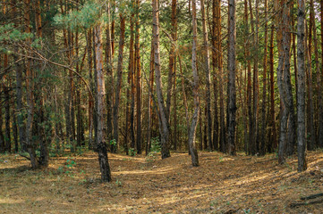 Old coniferous forest in autumn