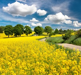 Photo sur Aluminium Jaune Field of rapeseed, canola or colza with rural road
