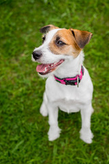 Happy Jack Russell puppy dogs sitting in a park smiling