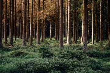 Fichtenwald im Abendlicht mit Heidelbeeren auf dem Waldboden