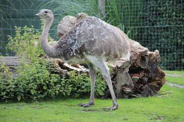 Emu in the Rotterdam Zoo