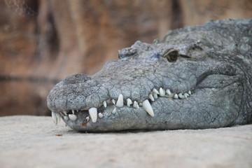 Crocodile in Rotterdam Zoo