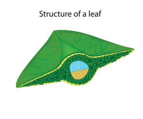 Leaf Cross Section. Structure of the leaf
