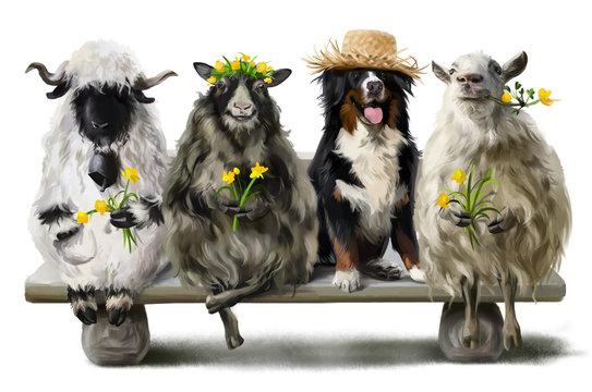 Berner Sennenhund shepherd and his three sheep