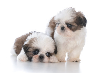 two shih tzu puppy litter mates