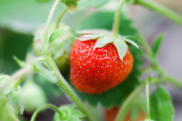 Close-up organic red strawberry growing field. beautiful garden berry macro view. shallow depth of field, soft selective focus