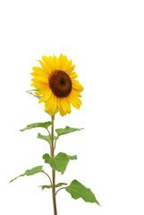 Sonnenblume auf weißem Hintergrund