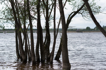 Spring flooding on the river - waterlogged trees