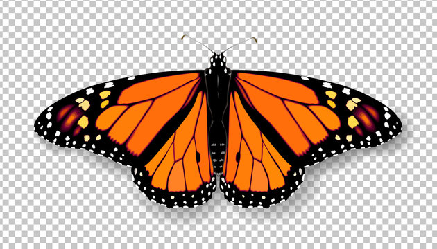 Realistic 3d Monarch butterfly. Colorful bright detailed mesh vector illustration with shadow on transparent background. Spring summer banner decoration
