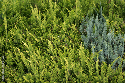 Thuja Hecke Querformat Stock Photo And Royalty Free Images On
