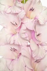 Single pink gladiolus flower close up, isilated on white background