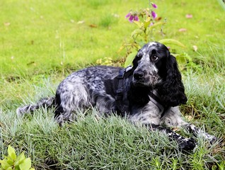 Spaniel lying in the pinks