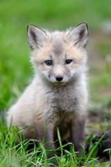 Wall Mural - Fox cub in grass