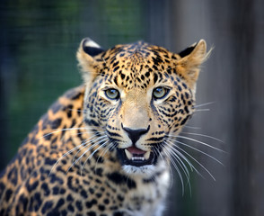Poster Leopard Close angry leopard portrait