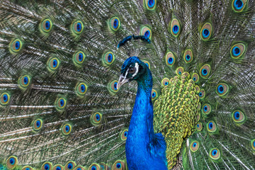 Peacock with multi-colored feathers. Wild animal world.