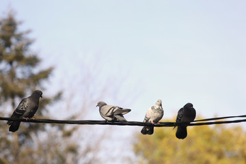 Pigeons resting on telephone pole cable in row with trees in background