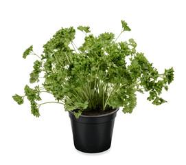 Krause Petersilie Pflanze Petersilienpflanze