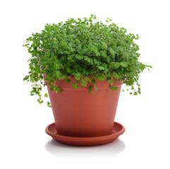 House plant Helxine soleirolii
