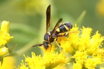 Fotoväggar - Wasp on a Flower