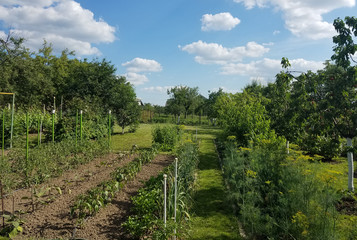 Vegetable garden greenery with rows of tomatoes, pepper, onions, dill and other vegetables and spices.