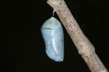 Fotoväggar - Monarch Butterfly (danaus plexippus) Chrysalis