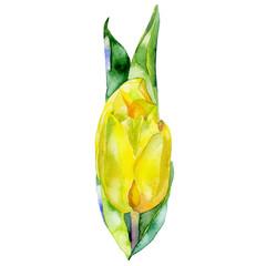 Beautiful delicate yellow flower. Tulip. Watercolor. Illustration