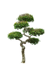 Dwarf tree isolated.