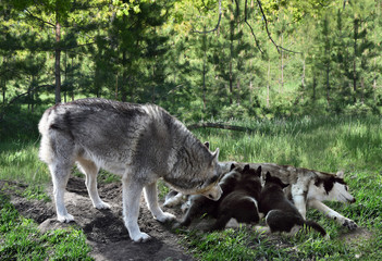 couple of wolves feeding puppies in the forest